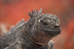Marine iguana on Sombrero Chino, Galapagos. Marine Iguana (Amblyrhynchus cristatus) with red vegetation in the background. Vulnerable and endemic to Galapagos Royalty Free Stock Photo