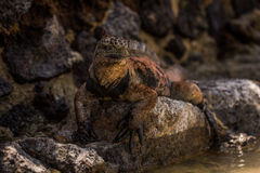 Marine iguana on stone wall beside water Stock Photography