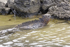 Marine Iguana Swimming in a Coastal Lagoon Stock Photo