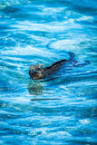 Marine iguana swimming in shallow blue waters stock image