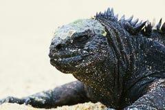Marine Iguana 2 royalty free stock photos