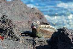 Marine Iguana with Tongue Out Royalty Free Stock Photos