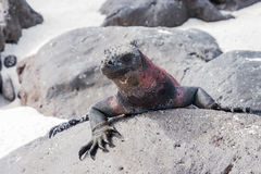 Marine iguana on top of a rock. Stock Photography