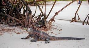 Marine iguana on Tortuga bay beach with some magrove behind at Galapagos island of Santa Cruz stock images