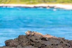 Marine Iguana vaggar på Royaltyfri Bild