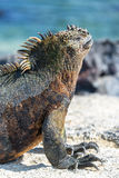 Marine Iguana Vertical in Galapagos Royalty Free Stock Photography