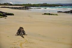 Marine Iguana walking on the beach. A lone marine iguana walking on the beach royalty free stock photos