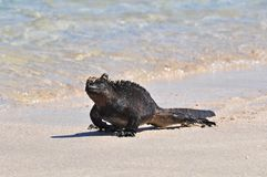 A marine iguana walking at the edge of the water, Galapagos Islands, Ecuador royalty free stock image