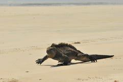 Marine-iguana walking on the beach. A marine Iguana walking sand at the beach stock image