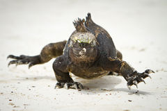 Marine Iguana walking straight at you. (Amblyrhynchus cristatus) in the Galapagos Islands royalty free stock photos