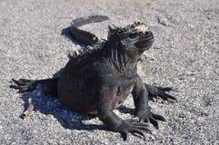 Marine iguana. Warming up after feeding Royalty Free Stock Photo