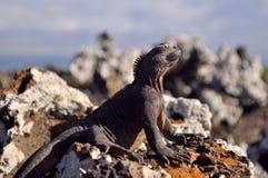 Marine iguana. Warming up on a rock under sun Stock Photos