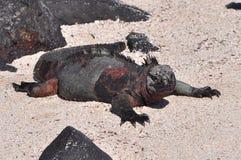 Marine iguana. Warming up under sun Stock Photography