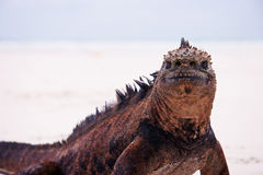 Marine iguana on white beach. Marine iguana looking into camera on beach. Unique prehistoric reptile Stock Photography