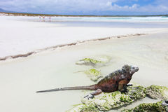 Marine iguana on a white sand beach Stock Photo