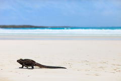 Marine iguana on a white sand beach. Marine iguana on Tortuga bay beach at Galapagos island of Santa Cruz royalty free stock photos