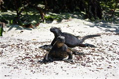 Marine Iguanas, îles de Galapagos, Equateur Image stock