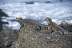 Marine Iguanas. The Marine Iguana is an iguana that can only be found in the Galapagos Islands and has the unique ability to forage in the sea Royalty Free Stock Photo