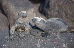 Marine Iguanas. The Marine Iquana is found only in the Galapagos Island and has the unique ability to forage in the sea Stock Images