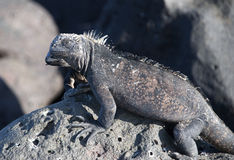 Marine Iguanas. The Marine Iguana is only found in the Galapagos Islands and has the unique ability to forage in the sea Stock Image