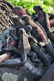 Marine Iguanas Royalty Free Stock Images