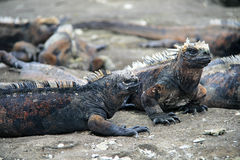 Marine Iguanas Stock Photography
