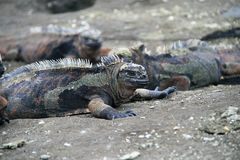 Marine Iguanas Royalty Free Stock Photos
