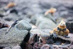 Marine iguanas. Endemic Galapagos marine iguanas on a rocks stock images