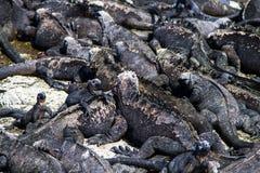 Marine Iguanas Fotografia de Stock Royalty Free