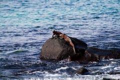 Marine Iguanas Imagens de Stock