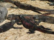 Marine Iguanas Fotos de archivo libres de regalías