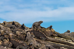 Marine Iguanas Stock Afbeeldingen