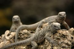 Marine Iguanas. Resting at the Galapagos Islands, Ecuador royalty free stock photography