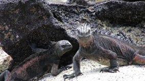 Marine Iguanas (cristatus d'Amblyrhynchus) parc national sur île chinoise de chapeau, Galapagos, Ecuado banque de vidéos