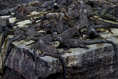 Marine Iguanas. A crowd of marine iguanas swarm a rock in the Galapagos Islands royalty free stock images