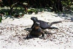 Marine Iguanas, de Eilanden van de Galapagos, Ecuador Stock Afbeelding