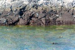 Marine Iguanas in de Galapagos Royalty-vrije Stock Foto