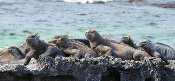 Marine Iguanas Enjoying the Sunshine Stock Photo