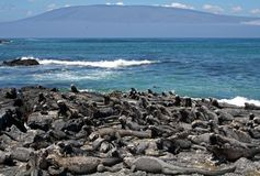 Marine iguanas on Fernandina, Galapagos Stock Image