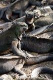 Marine iguanas in Fernandina island, Galapagos Royalty Free Stock Photography