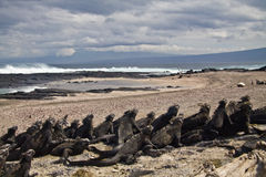 Marine iguanas in Fernandina island, Galapagos. Marine iguanas leaning on eachother in the beach in Fernandina island, Galapagos Islands, Ecuador. Rear view stock photos