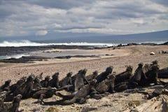 Marine iguanas in Fernandina island, Galapagos Stock Photos