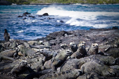 Marine iguanas in Fernandina island, Galapagos. Marine iguanas resting on rocks with the ocean on the background in Fernandina island, Galapagos Islands, Ecuador stock images
