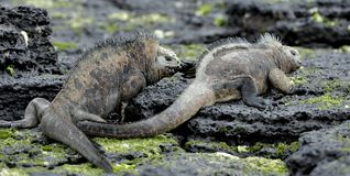 Marine Iguanas Fighting For Dominance Marine Iguanas combattant sur les roches noires de lave, image libre de droits
