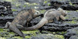 Marine Iguanas Fighting For Dominance Marine Iguanas stridighet på den svarta lavan vaggar, Royaltyfri Bild