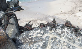Marine Iguanas Galapagos öar, Ecuador Arkivbilder