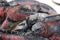 Marine Iguanas. Galapagos. Colony of Marine Iguanas on Hood Island, Galapagos Royalty Free Stock Photography