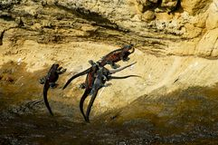 Marine Iguanas. In Galapagos - Ecuador royalty free stock photos