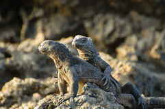 Marine Iguanas - Galapagos - Ecuador Arkivbild