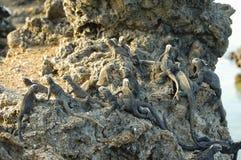 Marine Iguanas - Galapagos - Ecuador Arkivfoto